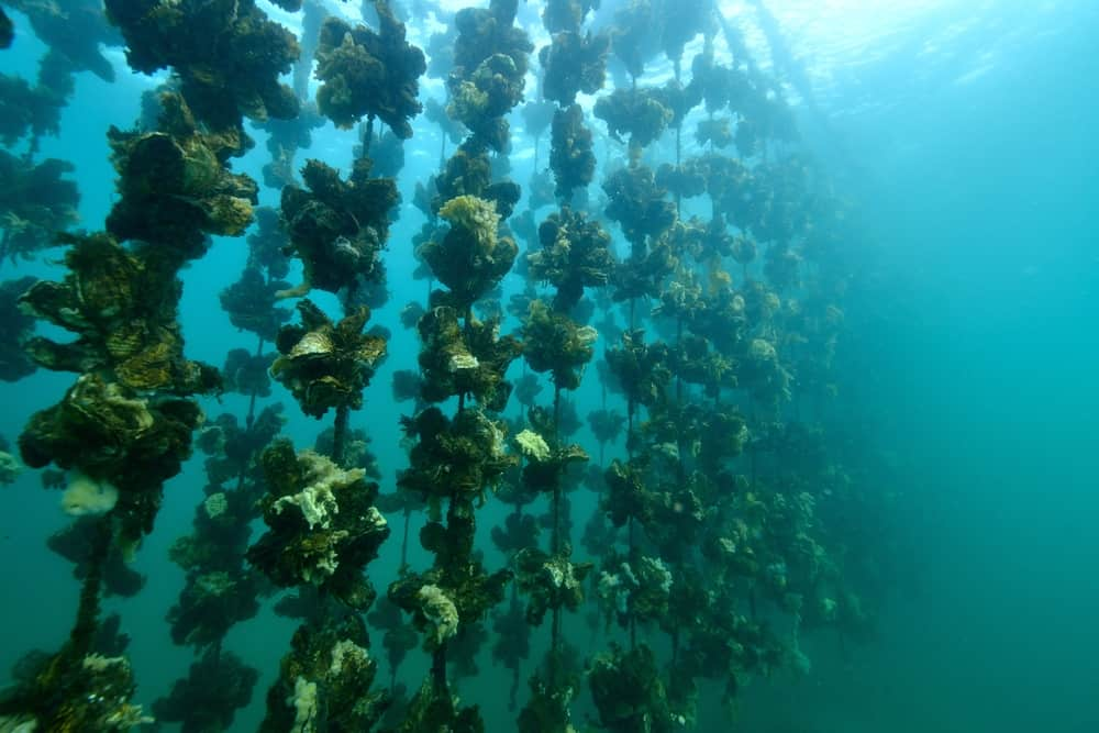 An oyster farm underwater.
