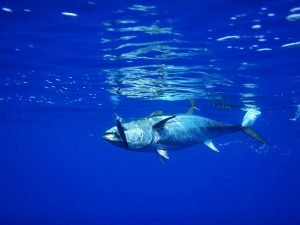 Bluefin tuna on a lure
