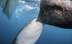 photo of a whaleshark eating from a fishing net