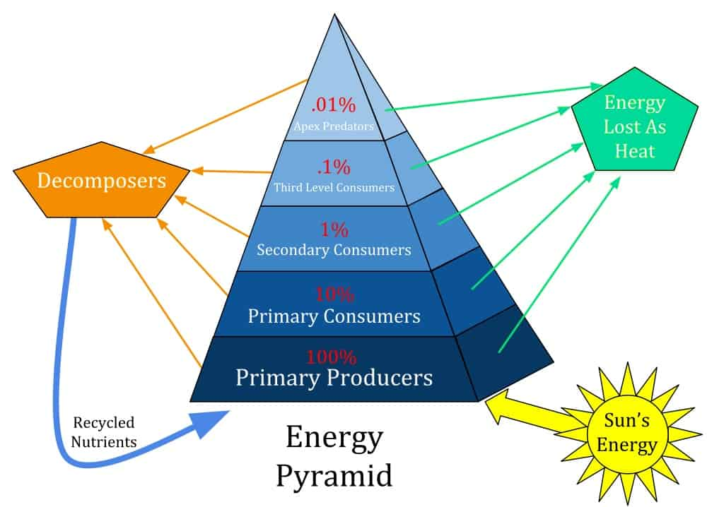 Energy pyramid showing movement through food chain